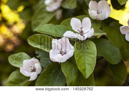 Quince in bloom. Flowers quince tree closeup