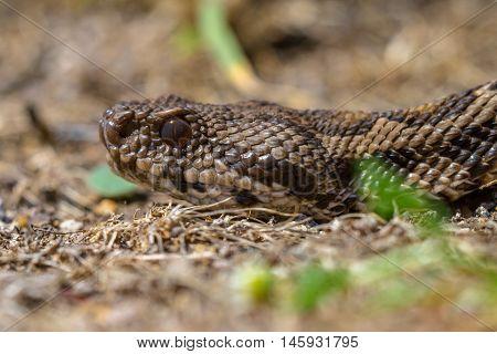 Close Up Viper Head