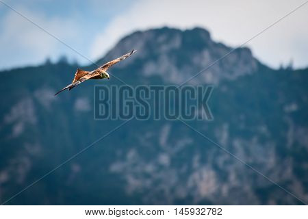 majestic red kite bird flying at mountains of austria