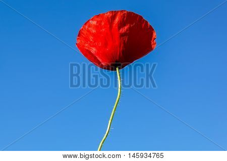 Flower of red poppy on a background of blue sky.