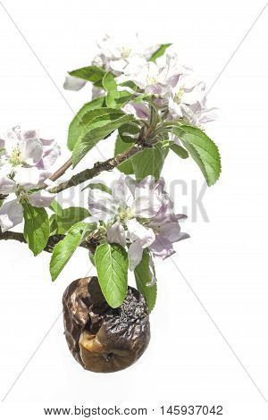 Withered apple amongst new blossom. The image is a symbolic of old age and coping with age-related diseases in a youthful world. Decay, death, and rejuvenation.