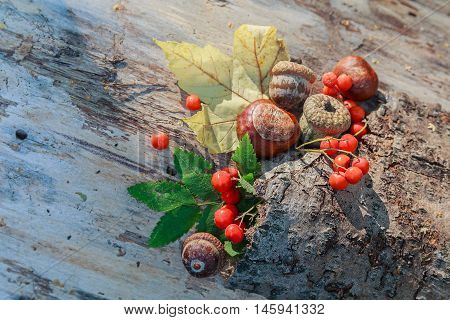 Chestnuts acorns and red viburnum on an old crust. Nature