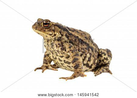 Common Toad On White