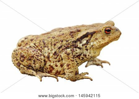 brown common toad isolated over white background full length ( Bufo bufo )