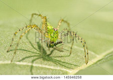 Green Lynx Spider, Peucetia viridans, with prey