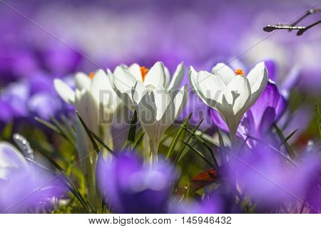 White Crocusses Blooming Amidst Purple Flowers