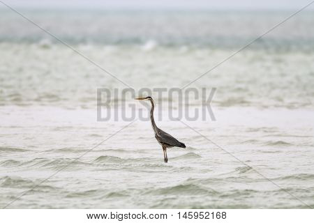 Solitary Great Blue Heron standing in choppy water