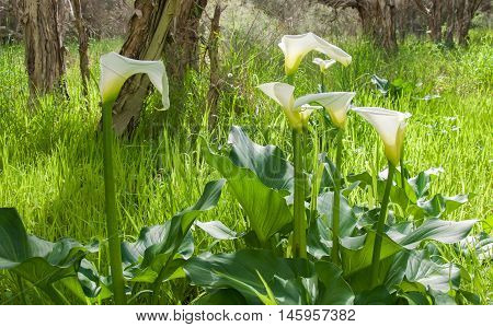 White calla lily flowers on tall thick stems growing wild in natural bushland reserve in Bibra Lake, Western Australia.