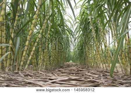 Sugarcane plantation at Jelebu, Negeri Sembilan, Malaysia