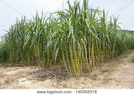 View of Sugarcane field at Jelebu, Malaysia
