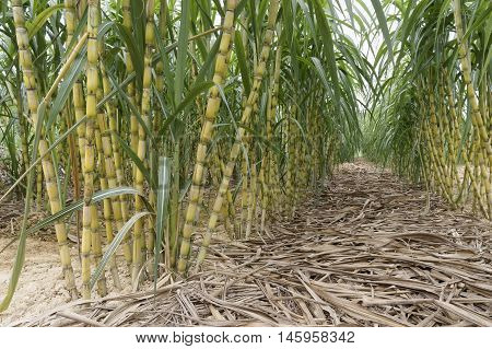 Close up view of Sugarcane field at Jelebu, Malaysia