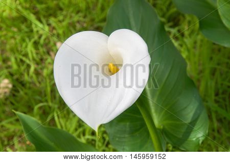Heart-shaped calla lily flower with bright green leaves growing wild in natural bushland reserve in Bibra Lake, Western Australia.