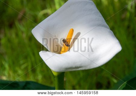White calla lily flower with pollinating bee on yellow stamen in natural bushland reserve in Bibra Lake, Western Australia.