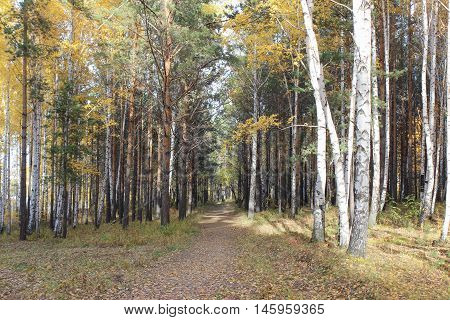 Autumn trees in a forest strip, Russia