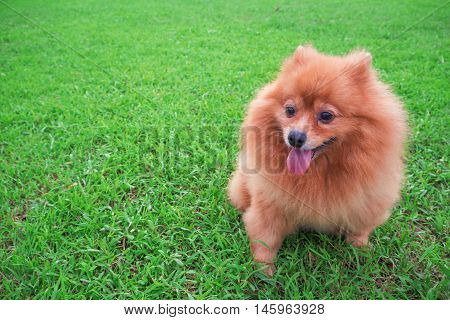 Pomeranian dog Slick Tongue seats on the grass green in morning day