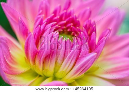 Pink and yellow flower close up.Beautiful flower in garden.Macro Pink and yellow flower