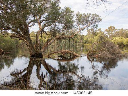 Lush wetland reserve paperbark tree reflections in the calm waters in Bibra Lake, Western Australia.