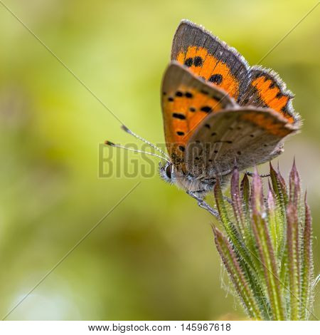 Colorful Small Copper Butterfly