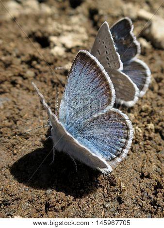 Boisduval's Blue butterflies (Plebejus icarioides) on the ground