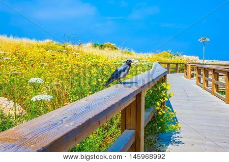 On a handrail the gray crow sits. Wooden path with handrail among the blossoming meadows