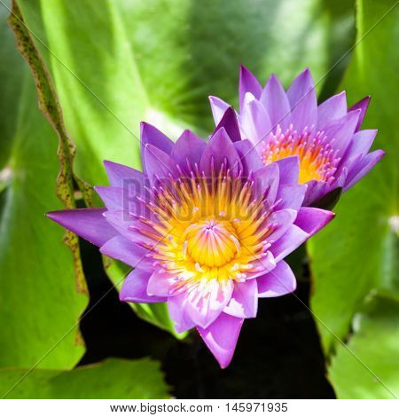 Beautiful Lotus Flower. Saturated Colors And Vibrant Detail Make This An Almost Surreal Image