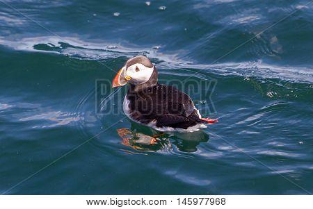 Atlantic Puffin (fratercula Arctica) Swimming In The Water