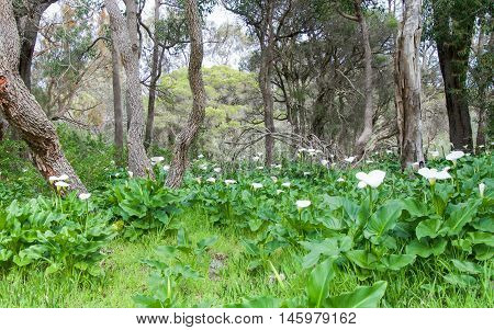 Wild calla lilies with delicate white blossoms, lush foliage and tropical paperbark trees in Bibra Lake, Western Australia