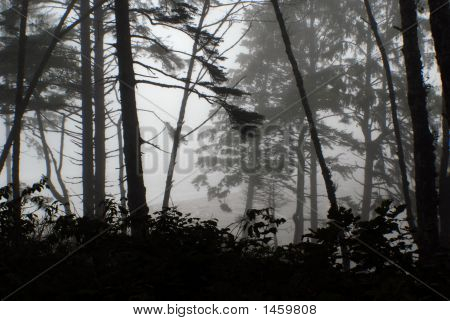 Rolling Mist In Rainforest, Pacific National Park, Wa