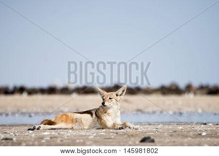 Black Back Jackal Resting On The Sand