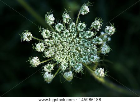 Inflorescence of white flowers of umbrella plant on a spring meadow with low depth of field