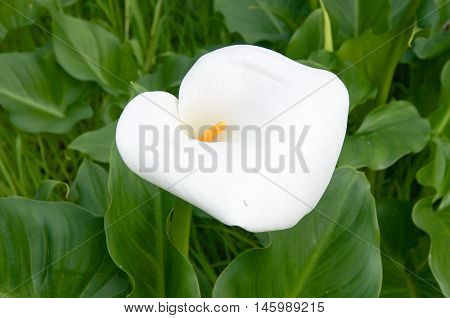 Delicate heart-shaped white calla lily growing wild in bushland reserve in Bibra Lake, Western Australia.