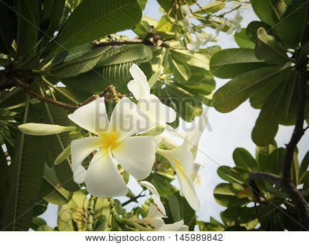 Vintage Filter Effect -White plumeria on the plumeria tree, Frangipani tropical flowers, White plumeria on the plumeria tree. Soft focus and blurred abstract and background.