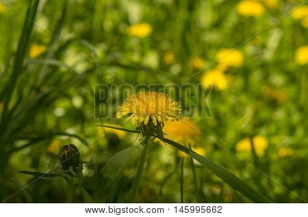 Dandelions In The Meadow. Bright Flowers Dandelions On Background Of Green Meadows.  Dandelion With
