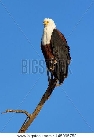 Fish Eagle staying on a tree in Naivasha Lake Kenya