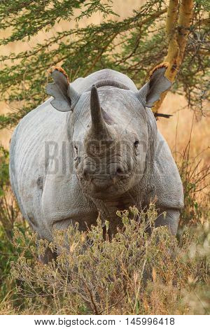 Portait of black rhino in Nakuru Park in Kenya during the dry season.