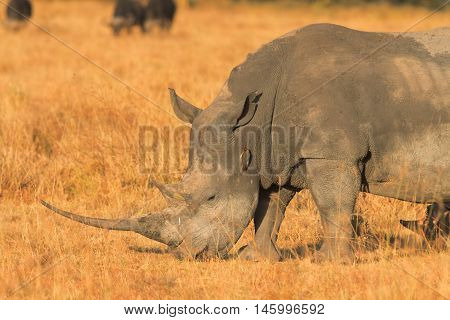 Portrait of white rhino in Nakuru Park Kenya during the dry season