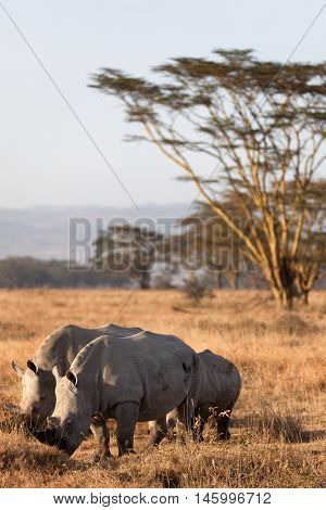 Group of white rhinos in Nakuru Park Kenya during the dry season. Vertical shot