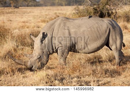 Portrait of white rhino in Nakuru Park Kenya during the dry season. Vertical shot