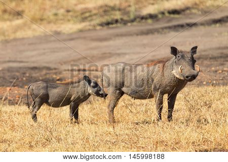 Two warthog in the grass - mother and child Masai Mara Kenya