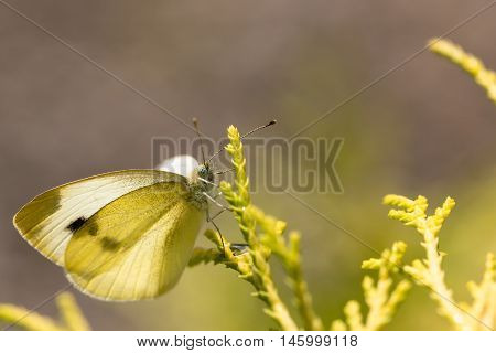 Cabbage white butterfly on a plant in the sunshine