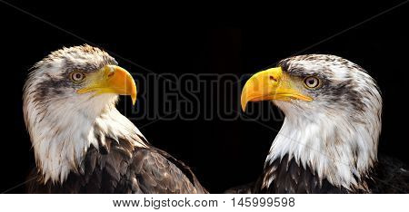 Bald Eagles - Haliaeetus leucocephalus isolated on black background