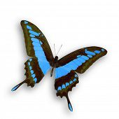 A wonderful light blue butterfly fly with open wings poster