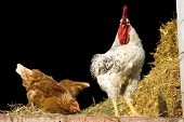 A white rooster and his chicken in a poultry pen. poster