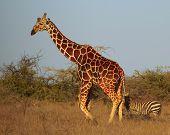 Reticulated Giraffe in the Savannah of Kenya poster