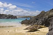 galapagos sea lion nursing on the beach of San cristobal Galapagos islands poster
