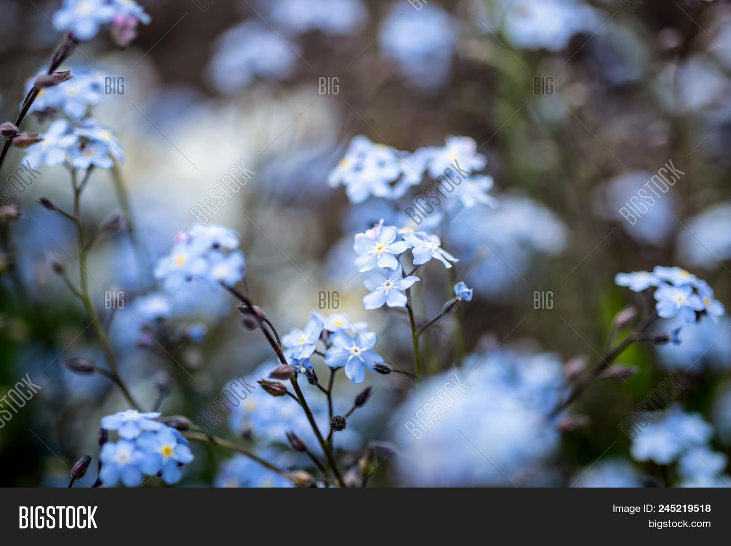 Small blue flowers image photo free trial bigstock small blue flowers forget me not the field izmirmasajfo