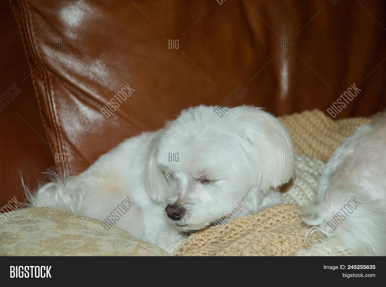 Adorable White Maltese Image Photo Free Trial Bigstock