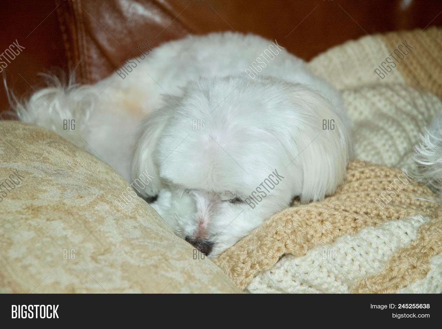 Adorable White Maltese Image Photo Free Trial Bigstock