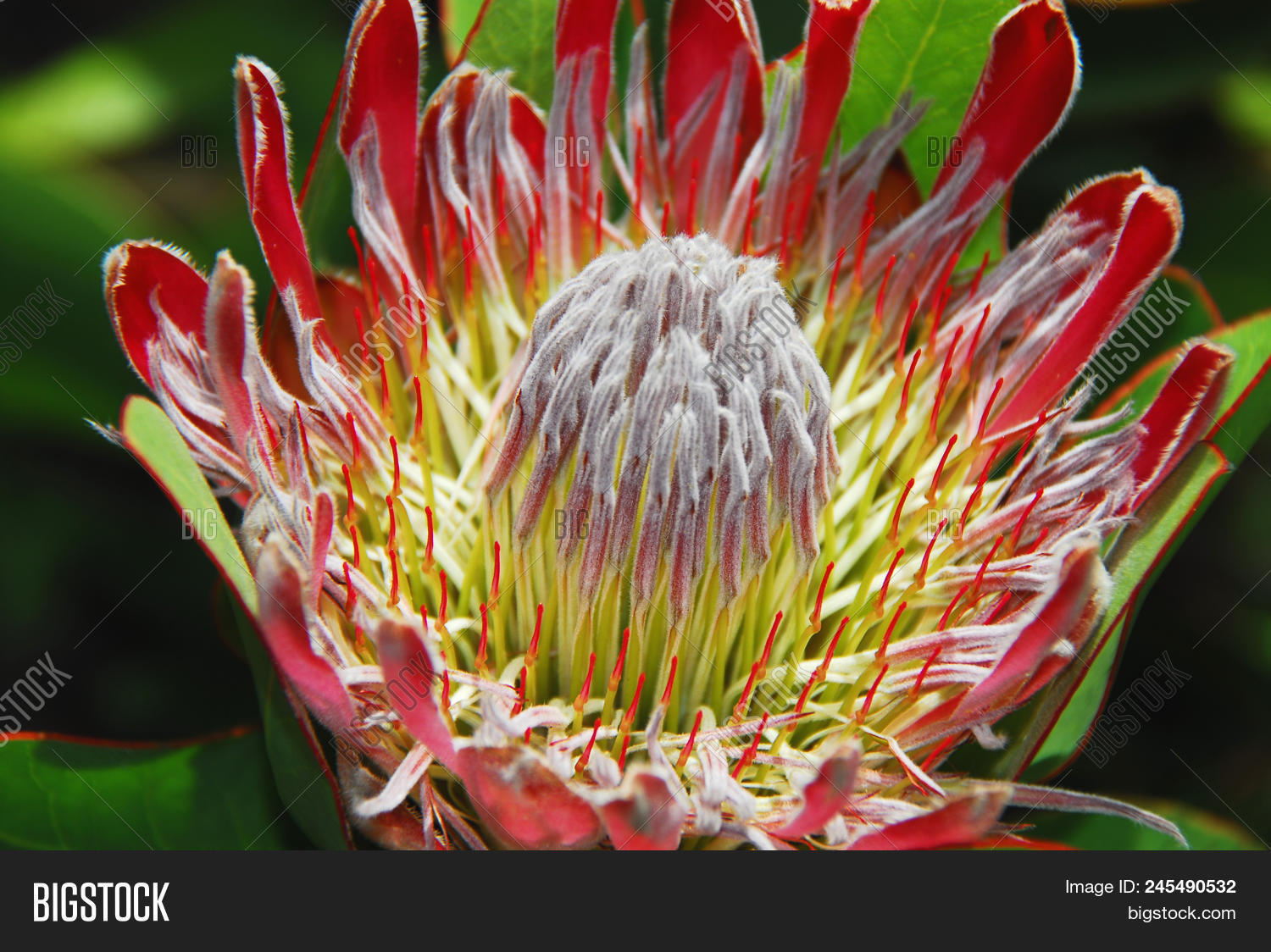 Protea fynbos rare image photo free trial bigstock protea fynbos are rare exotic large flowers native to south africa this beautiful bloom is izmirmasajfo