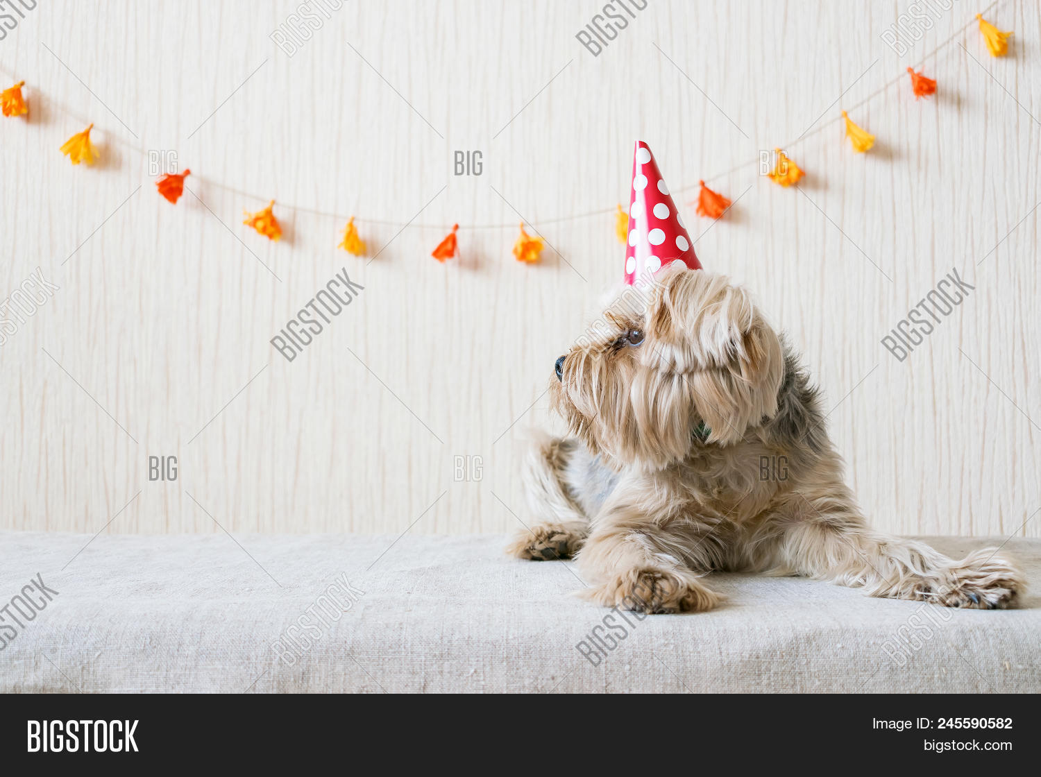 Funny Cute Yorkshire Image Photo Free Trial Bigstock